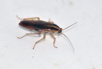 Cucarachas Pequeñas En La Cocina | Cucaracha Germanica En Nevera El Desinsectador Y Desratizador