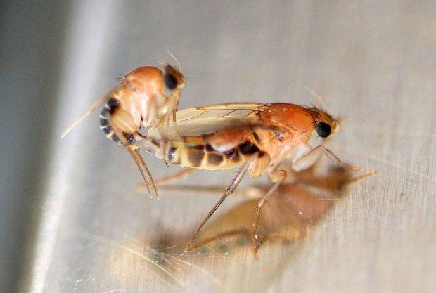 necrobia-phoridae-2016-11