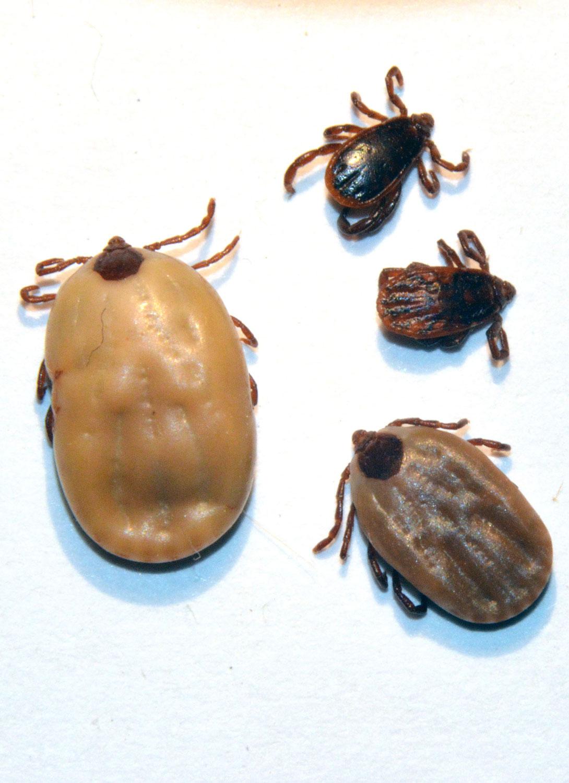 Ciclo de vida de las garrapatas de perro marrón