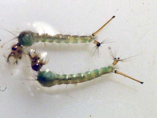 culex-impudicus-desinsectador-2016-07