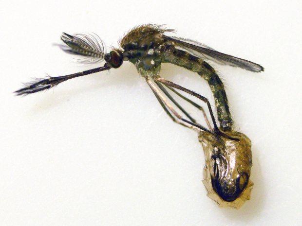 culex-impudicus-desinsectador-2016-12