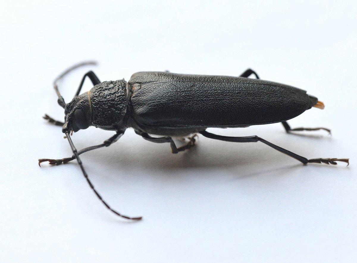 Escarabajos de la madera
