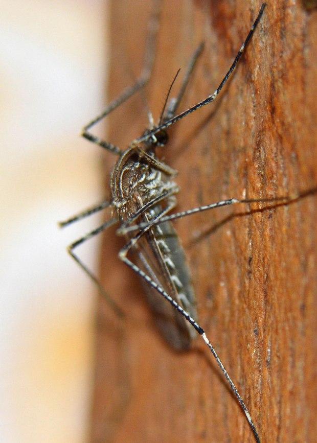 culiseta-longiareolata-desinectador-2016-04