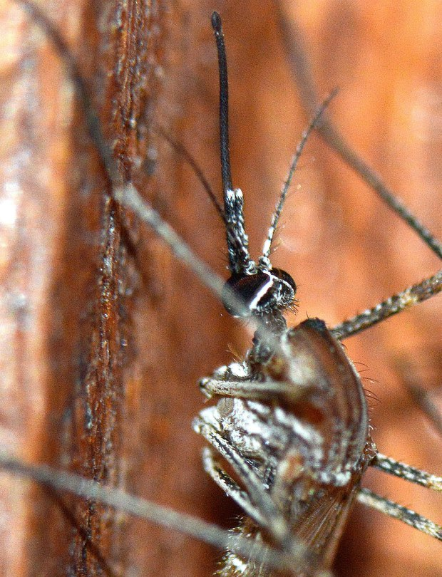 culiseta-longiareolata-desinectador-2016-05