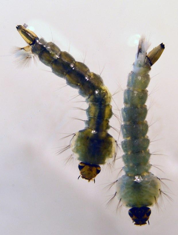 culiseta-longiareolata-desinectador-2016-08
