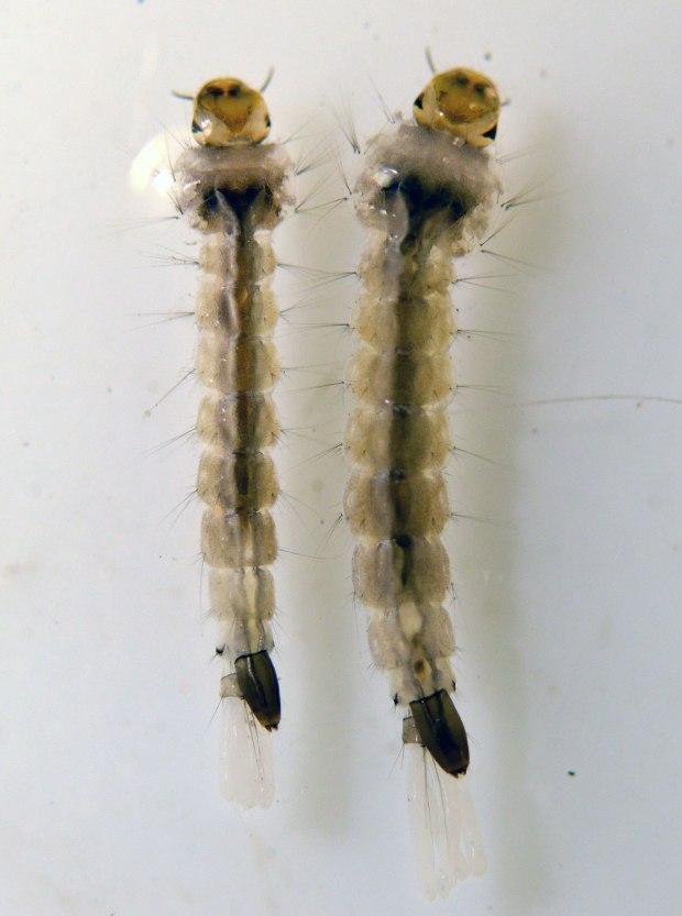 larva-aedes-albopictus-desinsectador-03