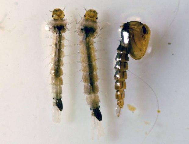 larva-aedes-albopictus-desinsectador-04