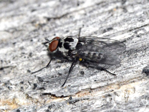 anthomyia-sp-desinsectador-2016-01