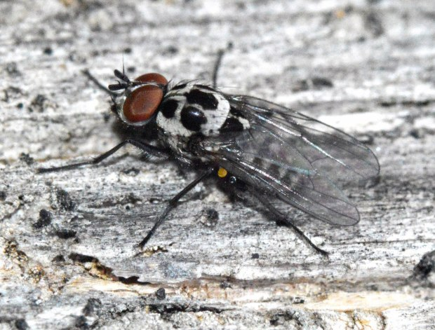 anthomyia-sp-desinsectador-2016-02