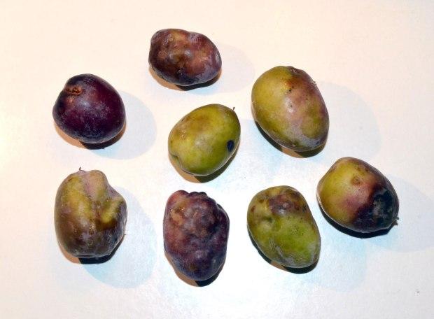 bactrocera-oleae-mosca-olivo-desinsectador-2016-04