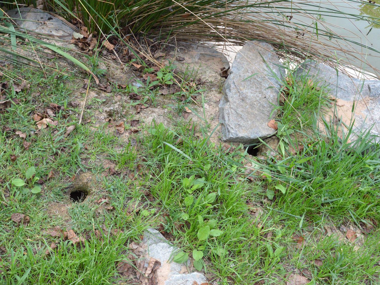 Evidencias de rata 3 el desinsectador y desratizador for Ahuyentar ratas jardin