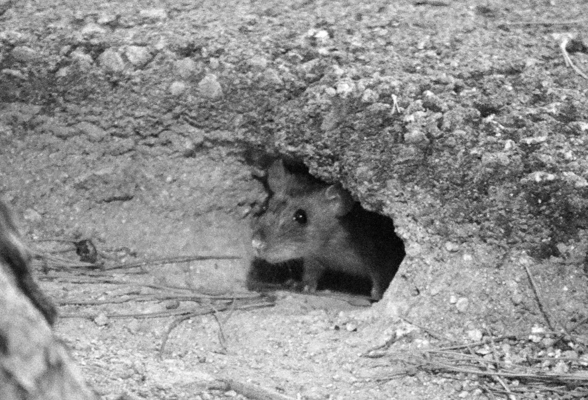 Una plaza dura con ratas