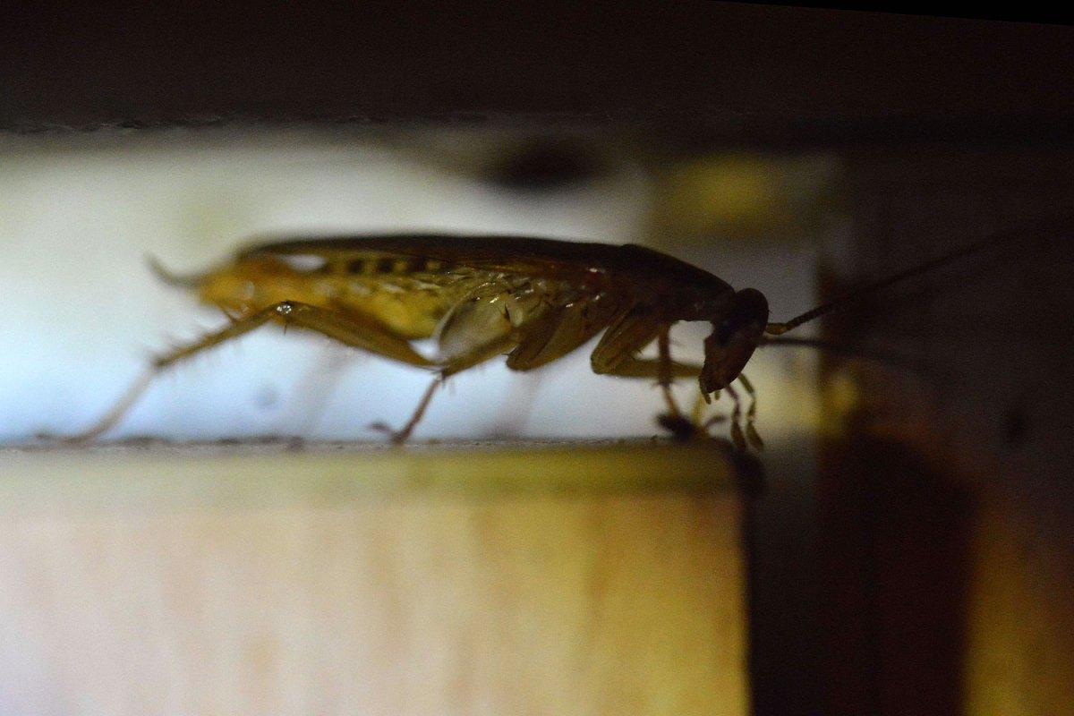 Cucarachas en el filo de la puerta