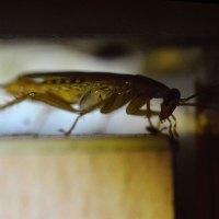 Cucaracha alemana, Blattella germanica (Blattodea, Blattellidae), en el filo de la puerta