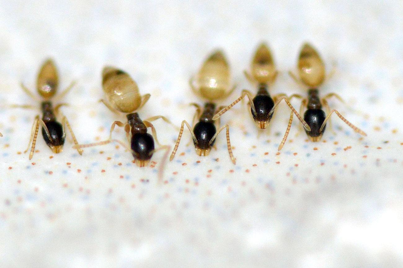 Hormigas fantasmas