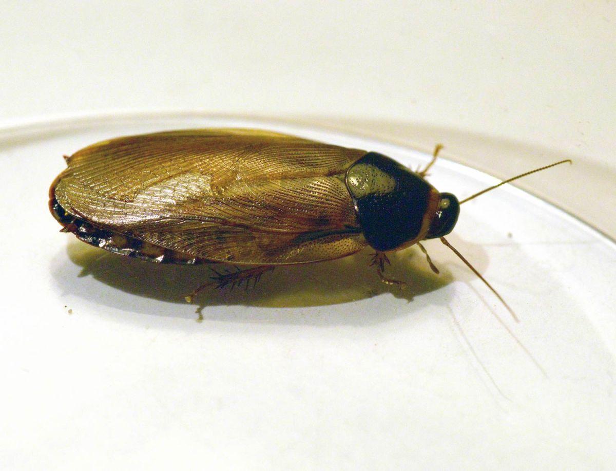 Primera cita de dos nuevas especies exóticas de cucarachas (Insecta: Blattodea) para la península Ibérica: Pycnoscelus surinamensis (Linnaeus, 1758) y Blatta lateralis (Walker, 1868)