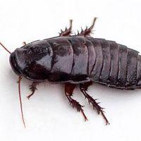 Las termitas son cucarachas eusociales