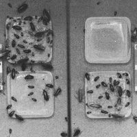 Aversión a la glucosa de Blattella germanica en Islas Canarias