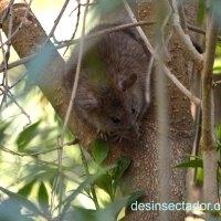 Rata negra (Rattus rattus) en el área metropolitana de Barcelona