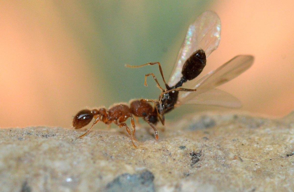 Tetramorium lanuginosum (Formicidae) en Almería