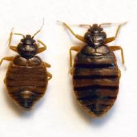 Detectada chinche de cama tropical, Cimex hemipterus (Hemiptera, Cimicidae), en Barcelona
